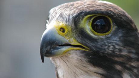 [Image: falcon.jpg]