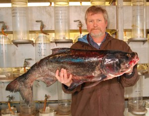 A bighead carp found in the St. Croix River at Prescott in April 2011 (Minnesota DNR photo)