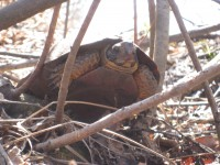 Wood turtle, a threatened species in Wisconsin