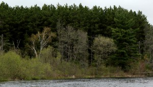 Red pine plantation on the Namekagon River