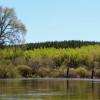 Pine plantation on the Namekagon River