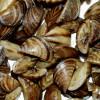 Zebra Mussels Hard to Find in the St. Croix