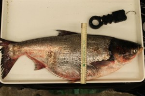 Silver carp caught in the Mississippi River on July 17th, 2014 (Minnesota DNR photo)