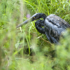 A great blue heron stained by oil in the Kalamazoo River (Michigan DEQ)