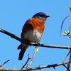 bluebird-wrsp